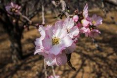 Цветя розовые миндальные деревья Стоковая Фотография