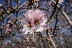 Цветя розовые миндальные деревья Стоковые Изображения RF