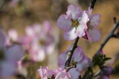Цветя розовые миндальные деревья Стоковые Фотографии RF