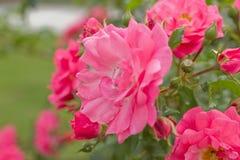 Цветя розовые розы и их бутоны стоковое фото rf