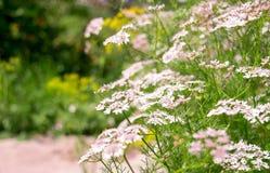 Цветя семя кориандра 4 Стоковые Изображения RF