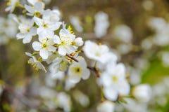 Цветя слива весной Стоковое Изображение