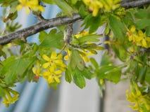 Цветя смородина Стоковое фото RF