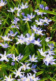цветя снежок славы lucile s Стоковое фото RF