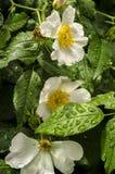 Цветя собак-Роза и дождевые капли на листьях Стоковые Фото