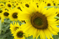 Цветя солнцецвет на поле Стоковое Фото