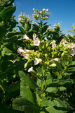 Цветя табак стоковая фотография rf