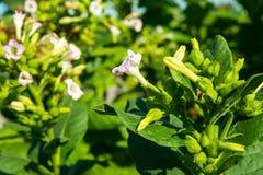 Цветя табак стоковые изображения