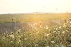 Цветя трава на свете вечера Стоковое Изображение
