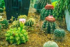 Цветя тропическое ‰ ¼ flowerï ˆCactus ¼ plantï Стоковая Фотография RF