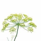 Цветя укроп (graveolens anethum) Стоковые Фото