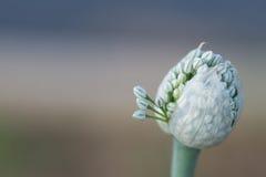 Цветя лук Стоковое фото RF