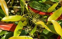 Цветя фикус весны Стоковое Изображение RF