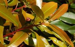Цветя фикус весны Стоковые Фотографии RF