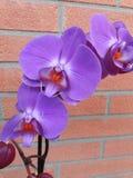 Цветя фиолетовая орхидея на предпосылке кирпичной стены Стоковые Фото