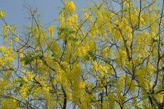 Цветя фистула laburnum-кассии дерева индийская Стоковые Фотографии RF