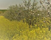Цветя фруктовые дерев дерев в поле рапса Стоковая Фотография RF
