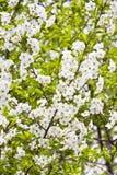 Цветя хворостина вишни на ясный весенний день Стоковые Изображения RF