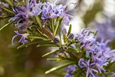 Цветя хворостина розмаринового масла стоковое изображение rf