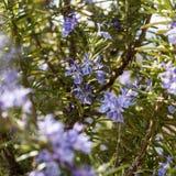 Цветя хворостина розмаринового масла стоковая фотография
