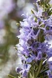 Цветя хворостина розмаринового масла стоковое фото rf