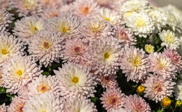 Цветя хризантемы Стоковые Изображения RF