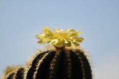 Цветя цветене yelow кактуса, голубая предпосылка Стоковая Фотография