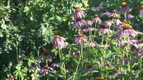 Цветя цветки эхинацеи видеоматериал