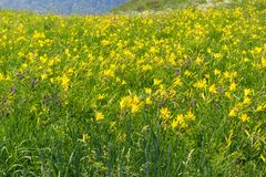 Цветя цветки Daylily стоковые изображения