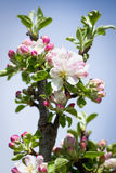 Цветя яблоко Стоковое Изображение