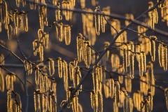 Цветя catkins на ветвях осины в золотом солнечном свете на заходе солнца стоковые изображения rf