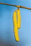 Цветя catkins Стоковые Изображения