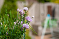 Цветя chive с предпосылкой bokeh Стоковое Изображение