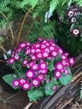 Цветя cineraria Стоковые Изображения RF