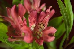 Цветя clivia Стоковое Изображение