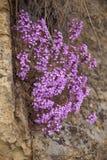 Цветя helianthemifolia Micromeria Стоковые Изображения