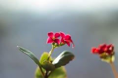 Цветя Kalanchoe Крупный план цветка Kalanchoe польза завода листьев дома детали предпосылки Стоковое Изображение