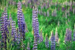Цветя lupines Стоковое фото RF