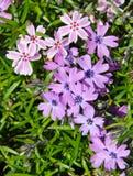 цветя phlox мха Стоковое Изображение