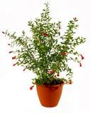 цветя pomegranate Стоковое Изображение RF