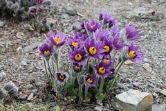 Цветя Pulsatilla Стоковое Фото