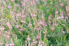 Цветя Sainfoin, viciifolia Onobrychis Стоковое Изображение RF