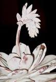 Цветя succulent Стоковые Изображения