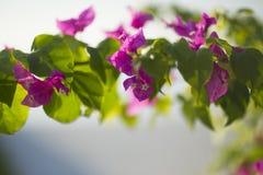 Цветя syarkimi куста цветет на запачканной предпосылке Стоковые Изображения RF