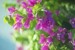 Цветя syarkimi куста цветет на запачканной предпосылке Стоковая Фотография RF
