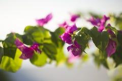 Цветя syarkimi куста цветет на запачканной предпосылке Стоковые Фотографии RF