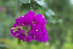 Цветя syarkimi куста цветет на запачканной предпосылке Стоковая Фотография