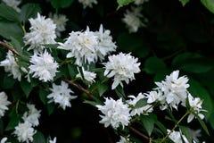 Цветя Syringa (Philadelphus) Стоковое Изображение