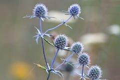 Цветя thistles Стоковая Фотография RF