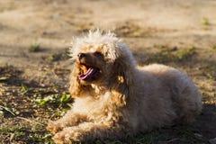 Цвет абрикоса пуделя игрушки собаки Стоковое Изображение RF
